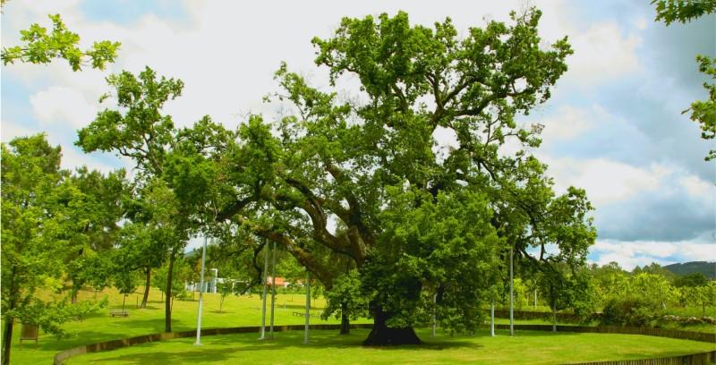 """Póvoa de Lanhoso: carvalho de Calvos """"concorre"""" a árvore do Ano 2020"""